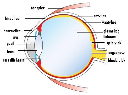 Doorsnede van het menselijk oog